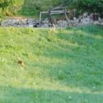 DSC_1770...un cerbiatto atraversa la strada